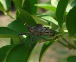 Wheel Bug