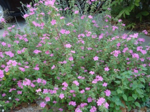 Texas rock rose