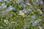 Rusty Blackhaw Viburnum (1)