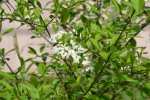 Rusty Blackhaw Viburnum (3)