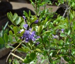 Texas Mtn Laurel (1)