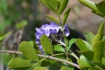 Texas Mtn Laurel (3)