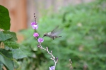 Hummingbird (12)