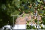 Hummingbird (121)