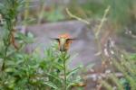 Hummingbird (15)