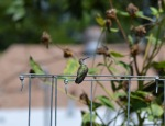 Hummingbird (6)
