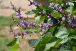 Hyacinth bean vine (1)
