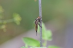 Robber fly (1)
