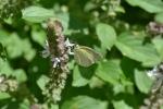 Sulphur Butterfly (6)
