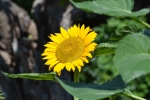 Sunflower (3)
