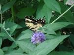 Swallowtail butterfly (34)
