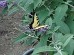 Swallowtail butterfly (36)