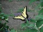 Swallowtail butterfly (43)