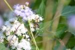 11 05 06 (5) Narrow-headed Sun Fly (Helophilusfasciatus)