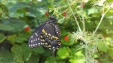 2017-07-03 09.09.27 eastern black swallowtail (2)