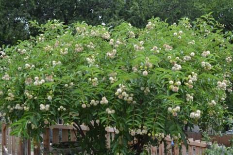 Buttonbush (3)