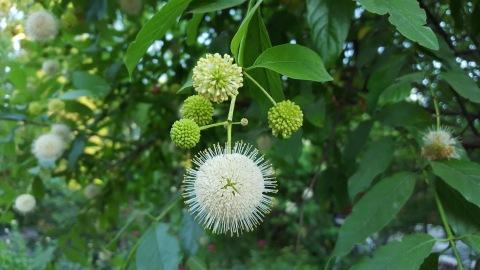 Buttonbush (4)