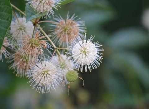 Buttonbush (7)