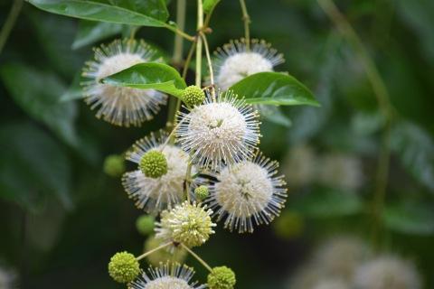 Buttonbush (8)